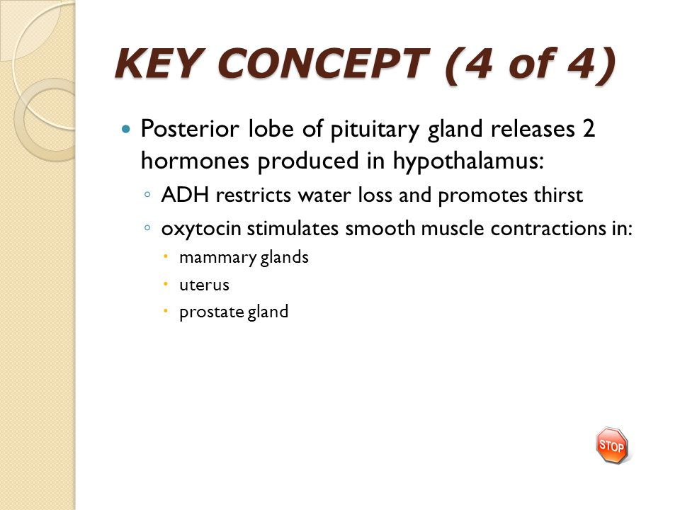 KEY CONCEPT (4 of 4) Posterior lobe of pituitary gland releases 2 hormones produced in hypothalamus: ◦ ADH restricts water loss and promotes thirst ◦ oxytocin stimulates smooth muscle contractions in:  mammary glands  uterus  prostate gland