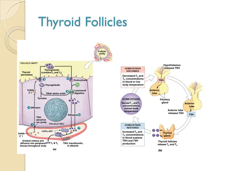Thyroid Follicles Figure 18–11a, b