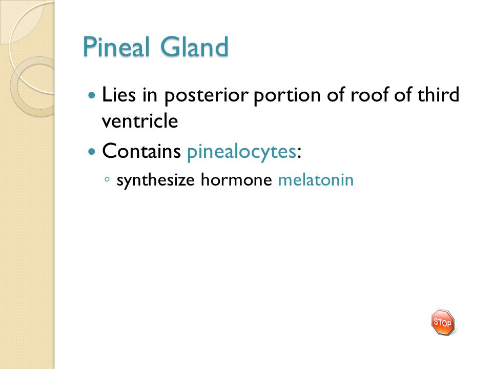 Pineal Gland Lies in posterior portion of roof of third ventricle Contains pinealocytes: ◦ synthesize hormone melatonin