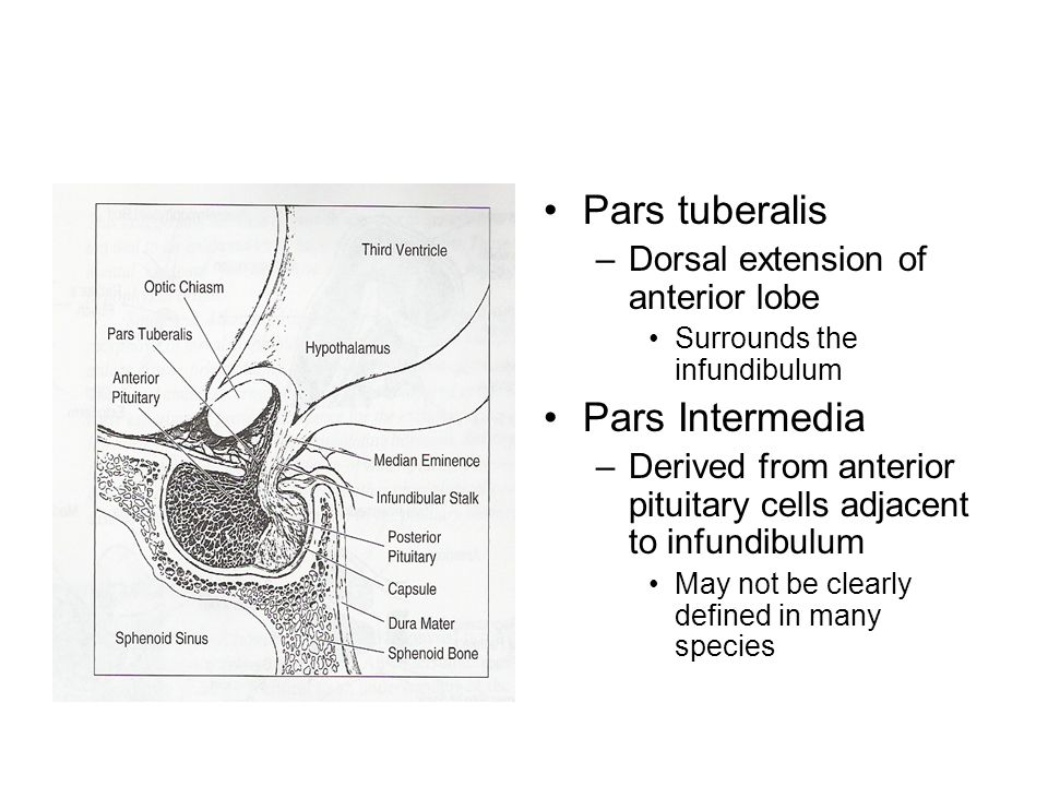 Pars tuberalis –Dorsal extension of anterior lobe Surrounds the infundibulum Pars Intermedia –Derived from anterior pituitary cells adjacent to infund