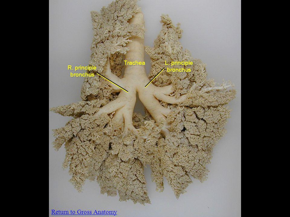 Trachea L. principle bronchus R. principle bronchus Return to Gross Anatomy