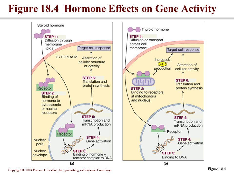 Copyright © 2004 Pearson Education, Inc., publishing as Benjamin Cummings Figure 18.4 Hormone Effects on Gene Activity Figure 18.4