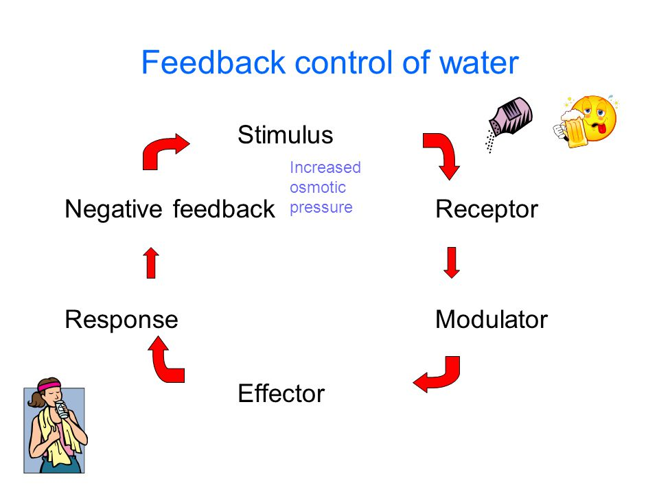 Feedback control of water Stimulus Negative feedbackReceptor ResponseModulator Effector Increased osmotic pressure Osmoreceptors in the hypothalamus Hypothalamus triggers thirst reflex and release of ADH from posterior pituitary Muscles of arms and throat Nephrons of kidney Drinking Increased water reabsorption – less urine produced Decreased osmotic pressure High salt Low water