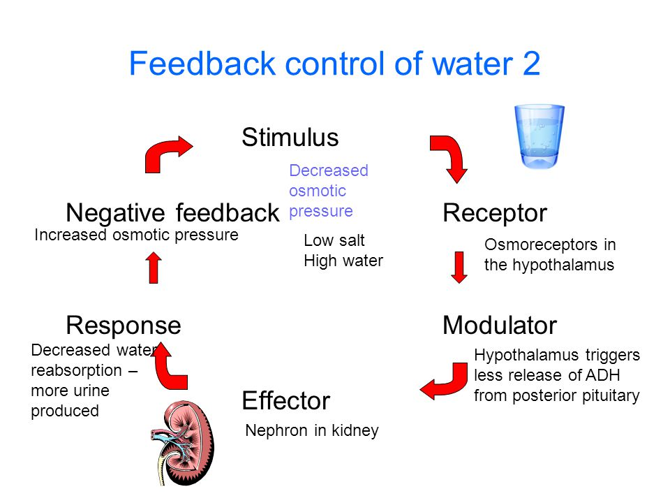 Feedback control of water 2 Stimulus Negative feedbackReceptor ResponseModulator Effector Decreased osmotic pressure Osmoreceptors in the hypothalamus Increased osmotic pressure Hypothalamus triggers less release of ADH from posterior pituitary Nephron in kidney Decreased water reabsorption – more urine produced Low salt High water
