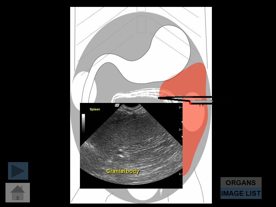 ORGANS IMAGE LIST Cranial body