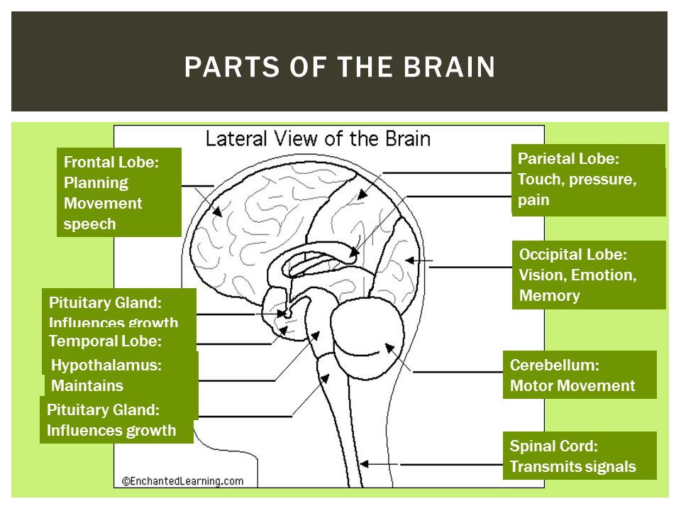 Controls all functions of the body THE BRAIN