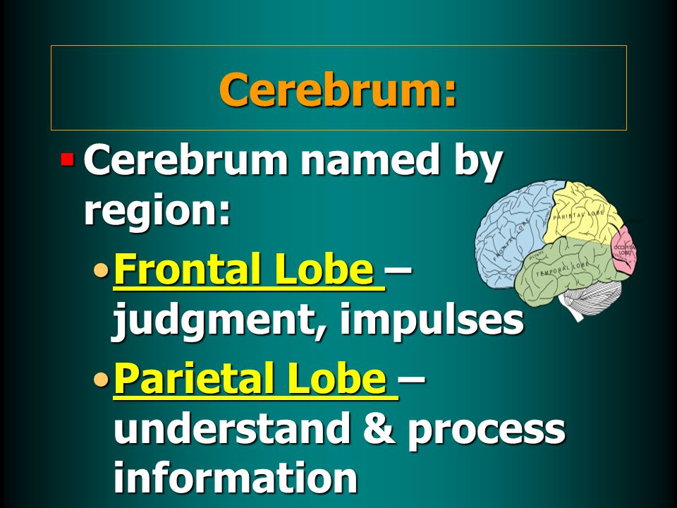  Cerebrum named by region: Frontal Lobe – judgment, impulsesFrontal Lobe – judgment, impulses Parietal Lobe – understand & process informationParietal Lobe – understand & process information Cerebrum: