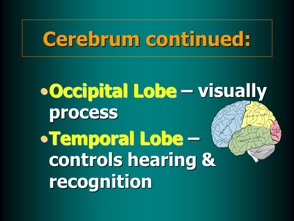Occipital Lobe – visually processOccipital Lobe – visually process Temporal Lobe – controls hearing & recognitionTemporal Lobe – controls hearing & recognition Cerebrum continued: