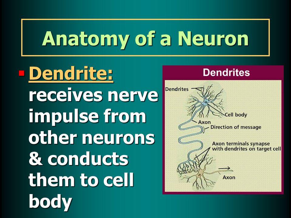 How Neurons Work  Neurons have a gap between them: synapse Gap between axon of 1 neuron & dendrite of another neuronGap between axon of 1 neuron & dendrite of another neuron