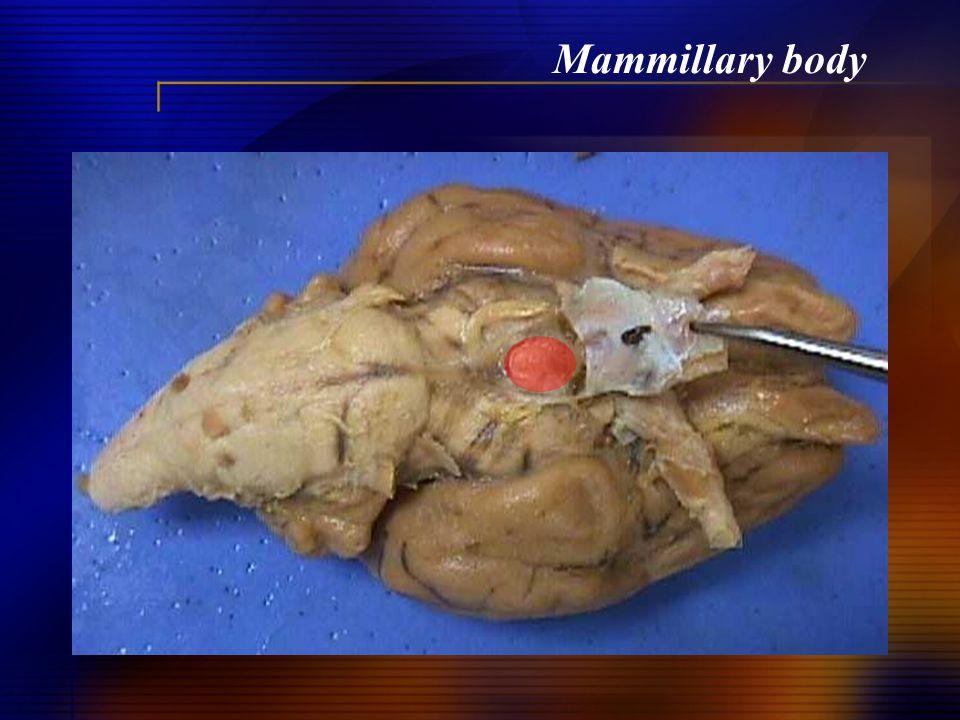 Mammillary body