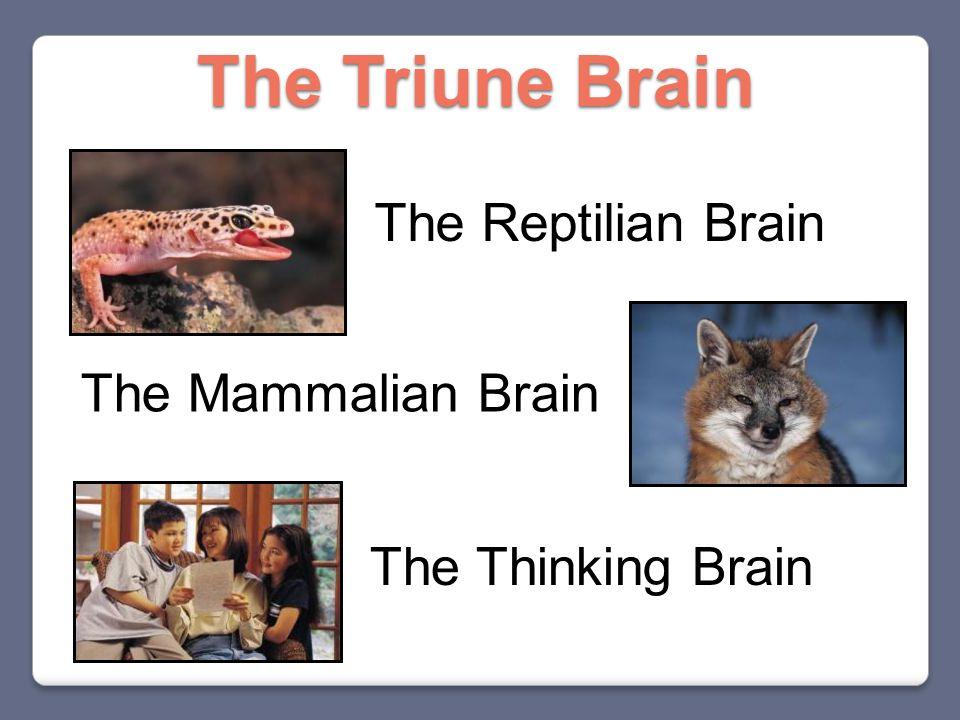 The Reptilian Brain The Mammalian Brain The Thinking Brain The Triune Brain