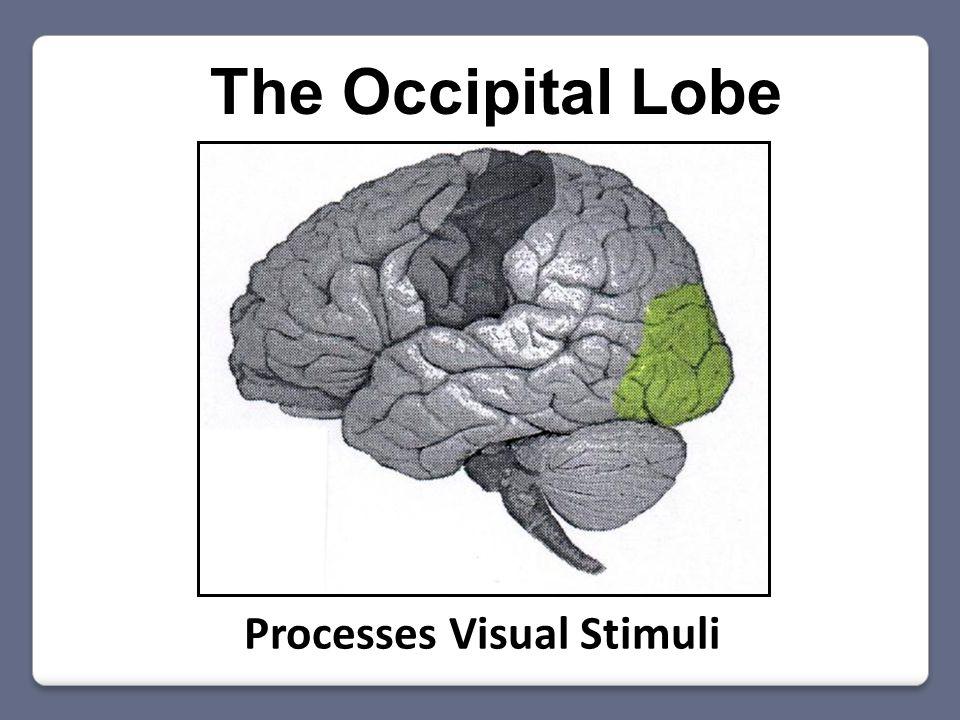 The Occipital Lobe Processes Visual Stimuli