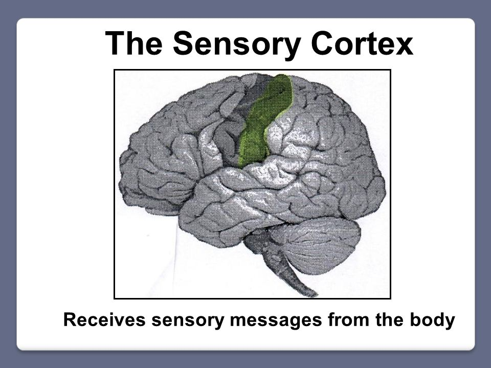 The Sensory Cortex Receives sensory messages from the body