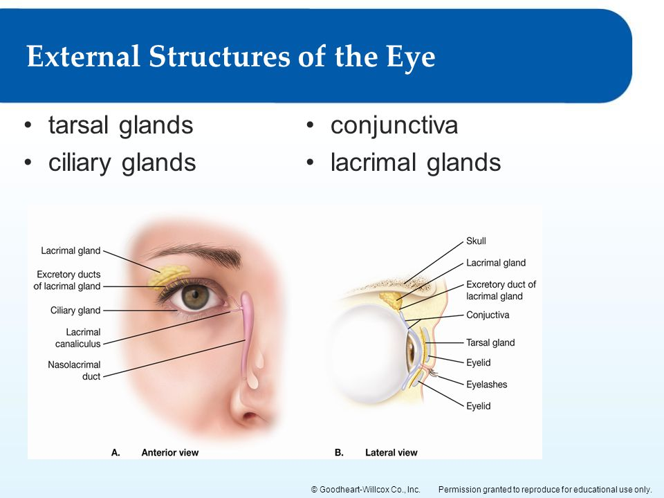 Permission granted to reproduce for educational use only.© Goodheart-Willcox Co., Inc. tarsal glands ciliary glands External Structures of the Eye con