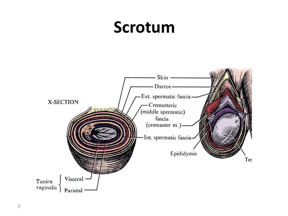 Scrotum 9