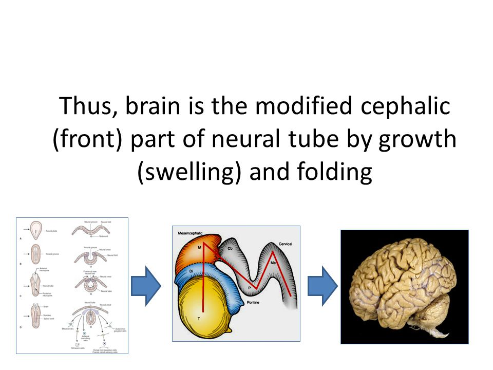 Thus, brain is the modified cephalic (front) part of neural tube by growth (swelling) and folding