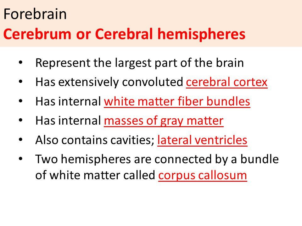 Forebrain Cerebrum or Cerebral hemispheres Represent the largest part of the brain Has extensively convoluted cerebral cortex Has internal white matter fiber bundles Has internal masses of gray matter Also contains cavities; lateral ventricles Two hemispheres are connected by a bundle of white matter called corpus callosum