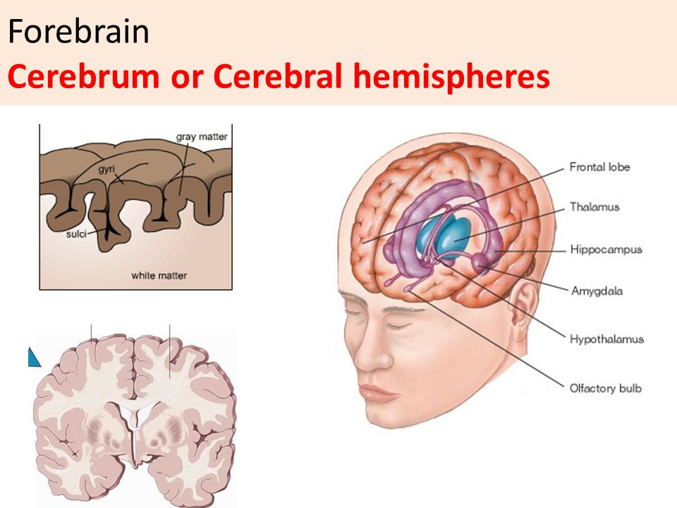 Forebrain Cerebrum or Cerebral hemispheres