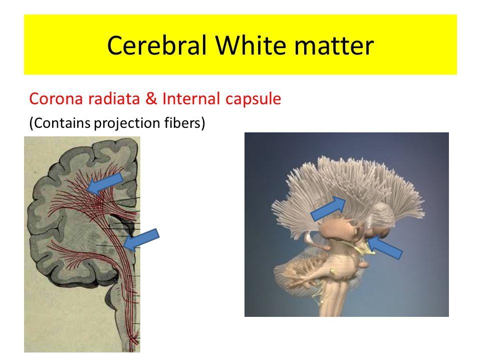 Corona radiata & Internal capsule (Contains projection fibers) Cerebral White matter