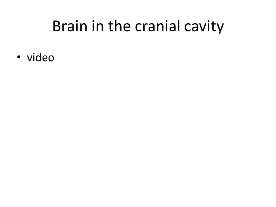 Brain in the cranial cavity video
