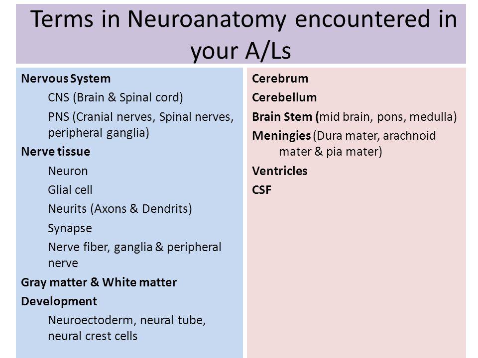 Terms in Neuroanatomy encountered in your A/Ls Cerebrum Cerebellum Brain Stem (mid brain, pons, medulla) Meningies (Dura mater, arachnoid mater & pia
