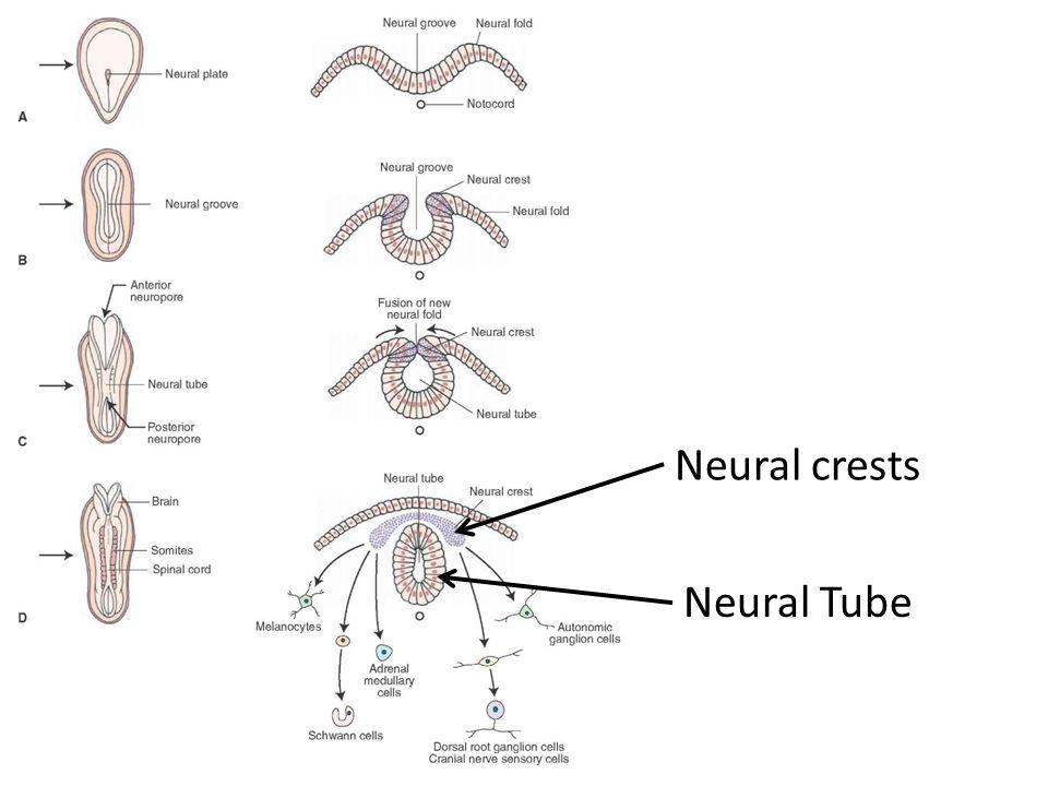 Neural Tube Neural crests