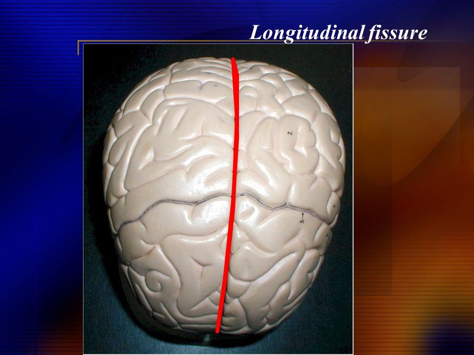 Longitudinal fissure