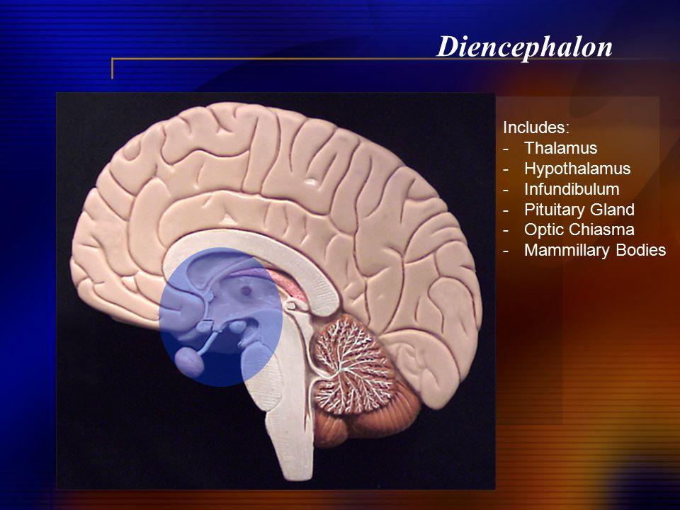 Diencephalon Includes: -Thalamus -Hypothalamus -Infundibulum -Pituitary Gland -Optic Chiasma -Mammillary Bodies