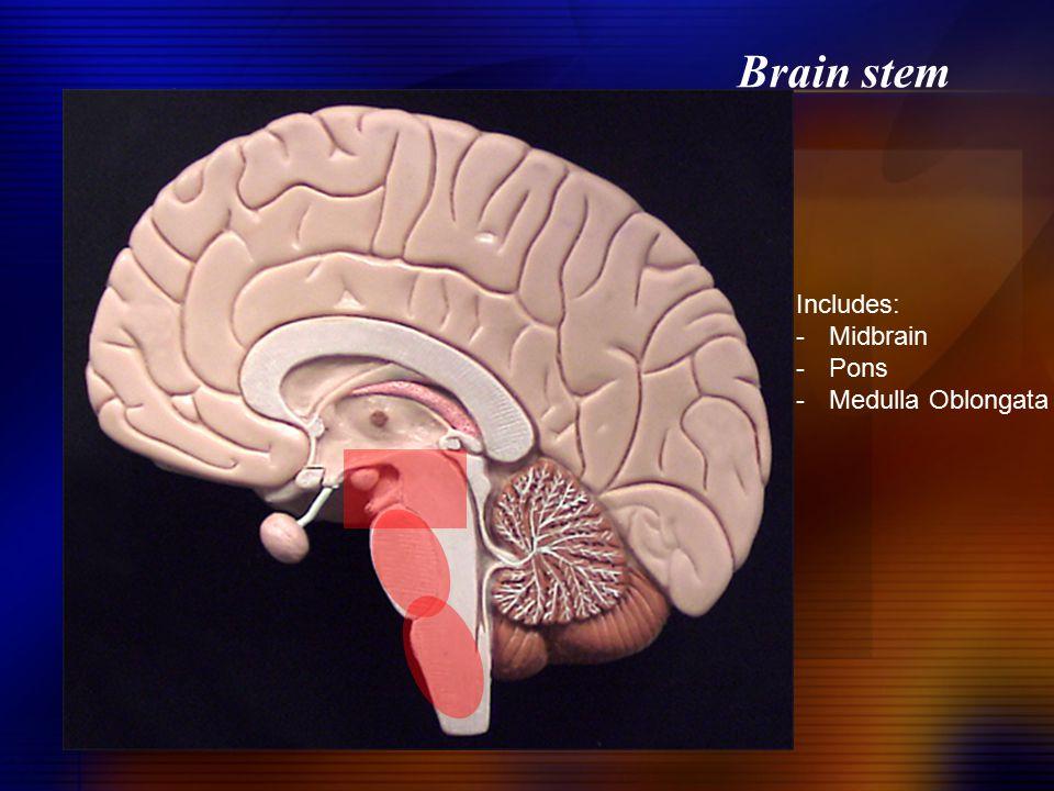Brain stem Includes: -Midbrain -Pons -Medulla Oblongata