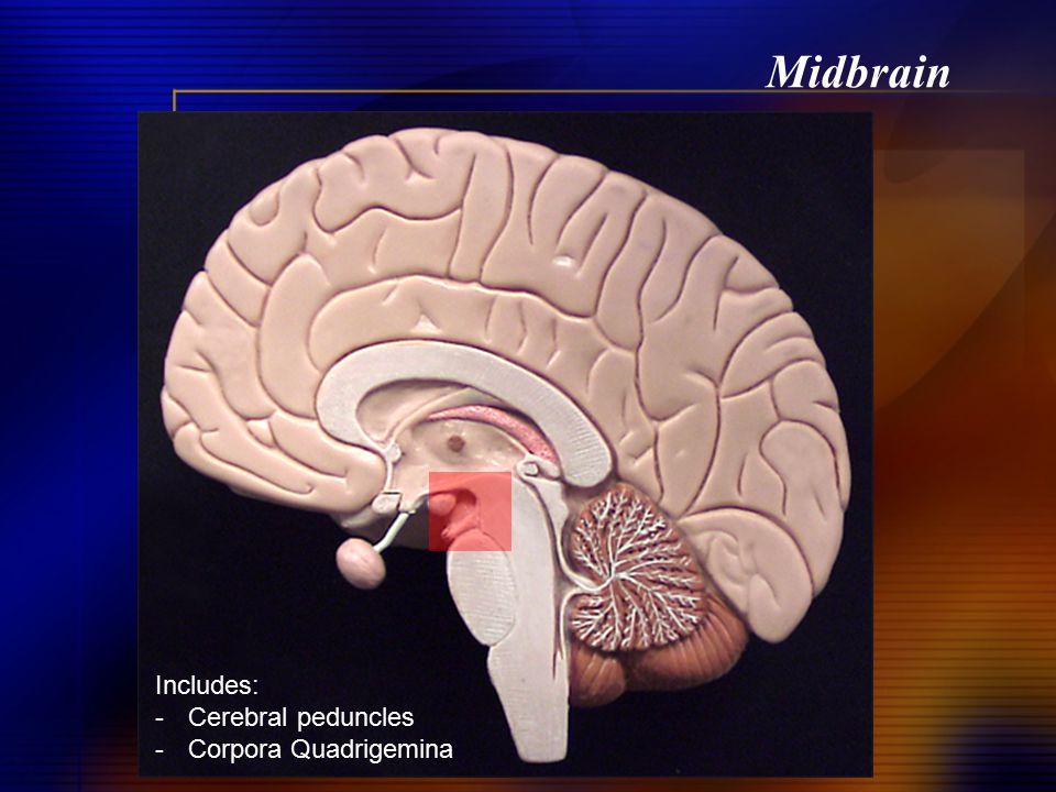 Midbrain Includes: -Cerebral peduncles -Corpora Quadrigemina