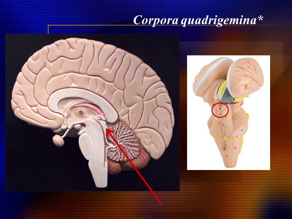 Corpora quadrigemina*