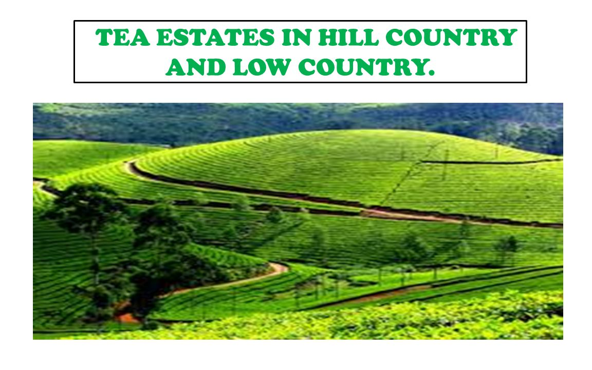 TEA ESTATES. TEA ESTATES IN HILL COUNTRY AND LOW COUNTRY.