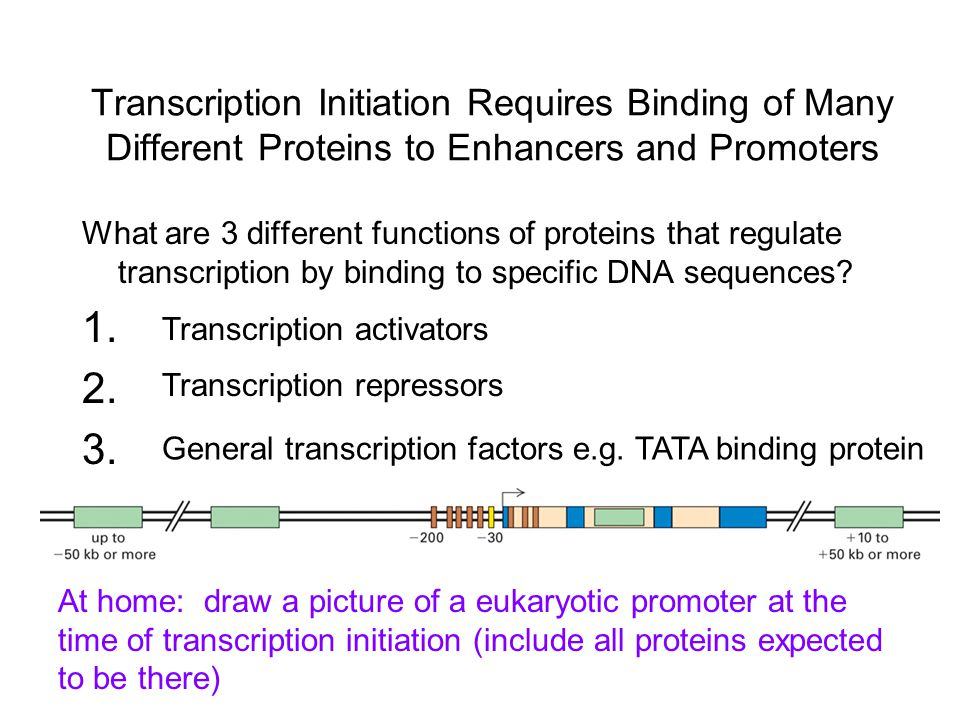 Transcription Initiation Requires Binding of Many Different Proteins to Enhancers and Promoters What are 3 different functions of proteins that regulate transcription by binding to specific DNA sequences.