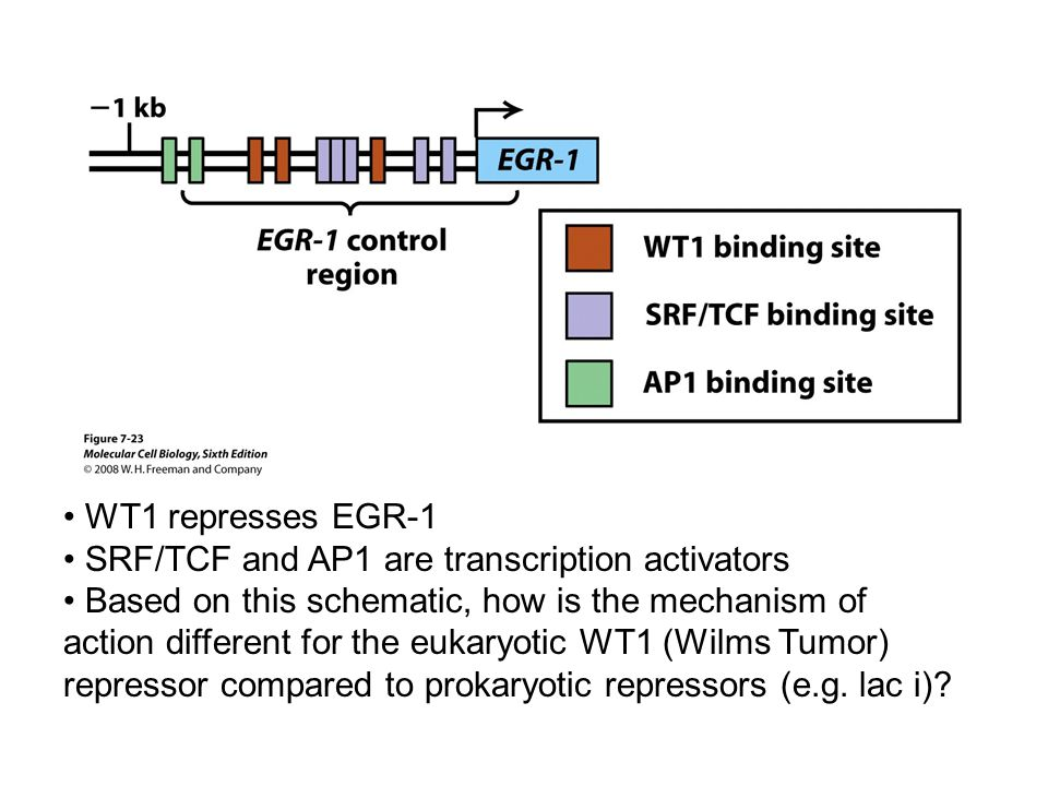 WT1 represses EGR-1 SRF/TCF and AP1 are transcription activators Based on this schematic, how is the mechanism of action different for the eukaryotic WT1 (Wilms Tumor) repressor compared to prokaryotic repressors (e.g.