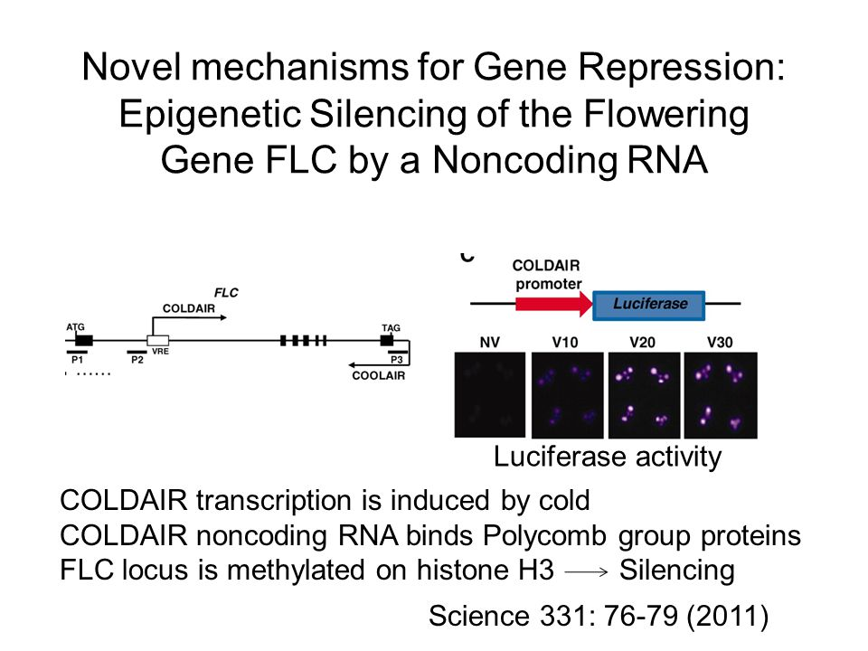 Novel mechanisms for Gene Repression: Epigenetic Silencing of the Flowering Gene FLC by a Noncoding RNA COLDAIR transcription is induced by cold COLDAIR noncoding RNA binds Polycomb group proteins FLC locus is methylated on histone H3 Silencing Science 331: 76-79 (2011) Luciferase activity