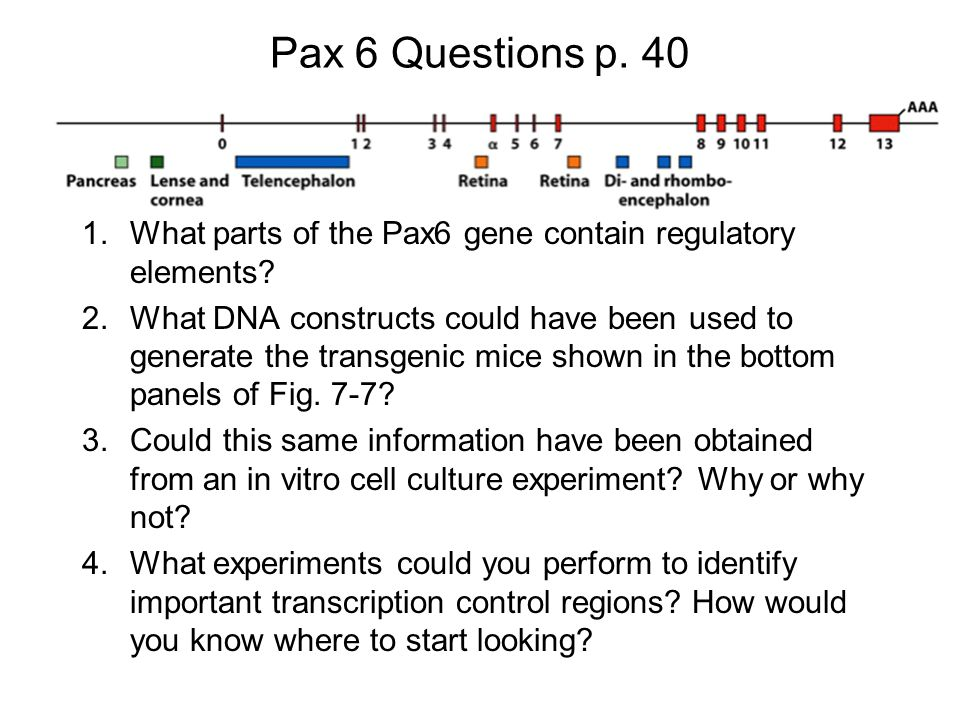Pax 6 Questions p. 40 1.What parts of the Pax6 gene contain regulatory elements.