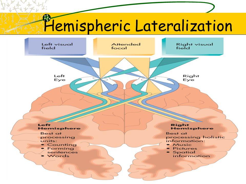 Left hemisphere Processing units that can be combined, e.g., Counting Processing unfamiliar words Forming sentences Right hemisphere Processing music Grasping visual/spatial information Forming inferences Drawing conclusions Are you right brained or left brained?