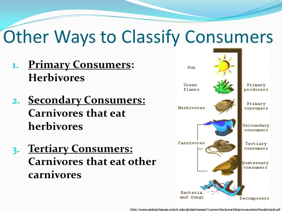 Other Ways to Classify Consumers 1. Primary Consumers: Herbivores 2. Secondary Consumers: Carnivores that eat herbivores 3. Tertiary Consumers: Carniv