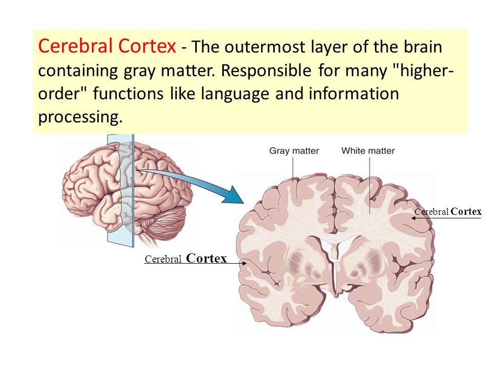 Cerebral Cortex Cerebral Cortex - The outermost layer of the brain containing gray matter. Responsible for many