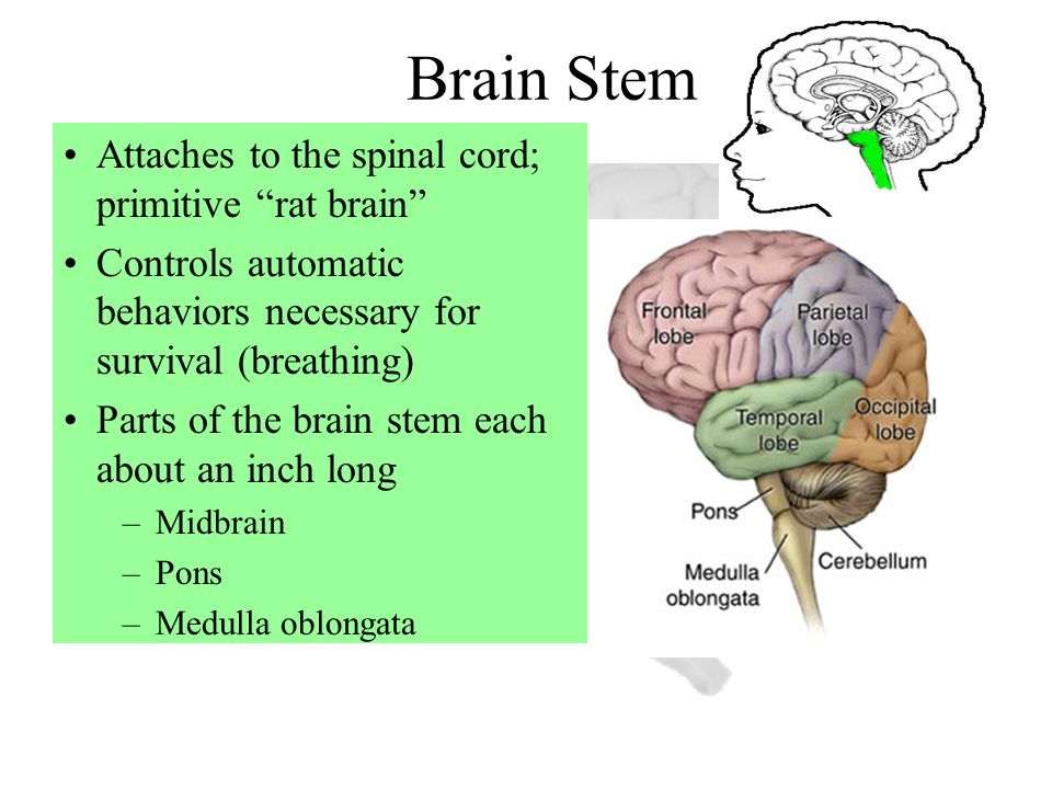 "Brain Stem Attaches to the spinal cord; primitive ""rat brain"" Controls automatic behaviors necessary for survival (breathing) Parts of the brain stem"