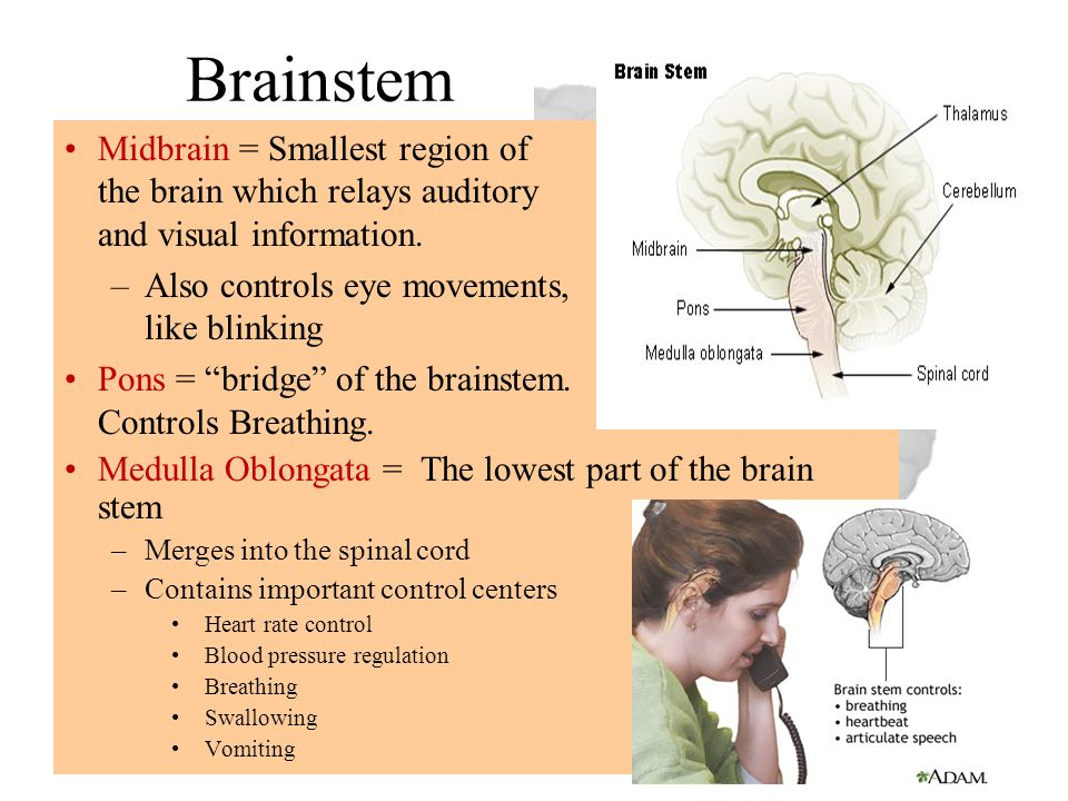 "Brainstem Midbrain = Smallest region of the brain which relays auditory and visual information. –Also controls eye movements, like blinking Pons = ""br"
