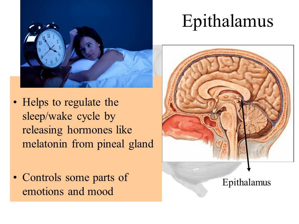 Epithalamus Helps to regulate the sleep/wake cycle by releasing hormones like melatonin from pineal gland Controls some parts of emotions and mood Epi