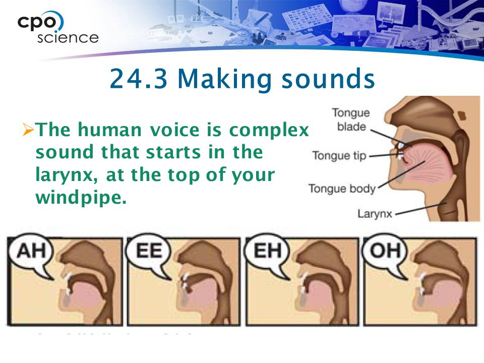 24.3 Making sounds  The human voice is complex sound that starts in the larynx, at the top of your windpipe.