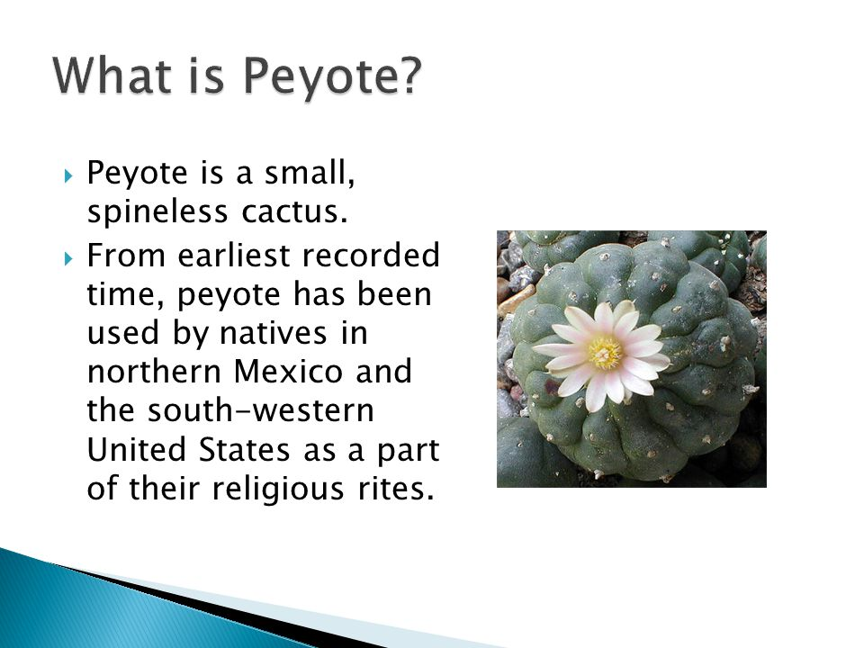  Peyote is a small, spineless cactus.