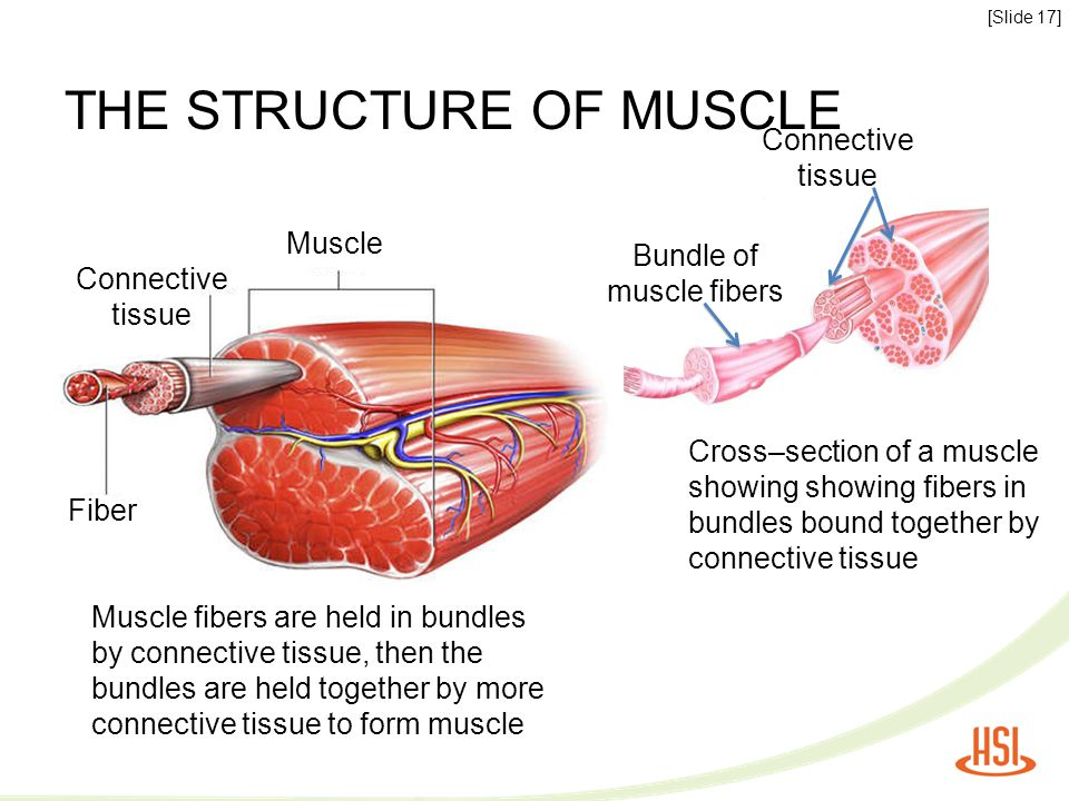 THE STRUCTURE OF MUSCLE Muscle fibers are held in bundles by connective tissue, then the bundles are held together by more connective tissue to form m
