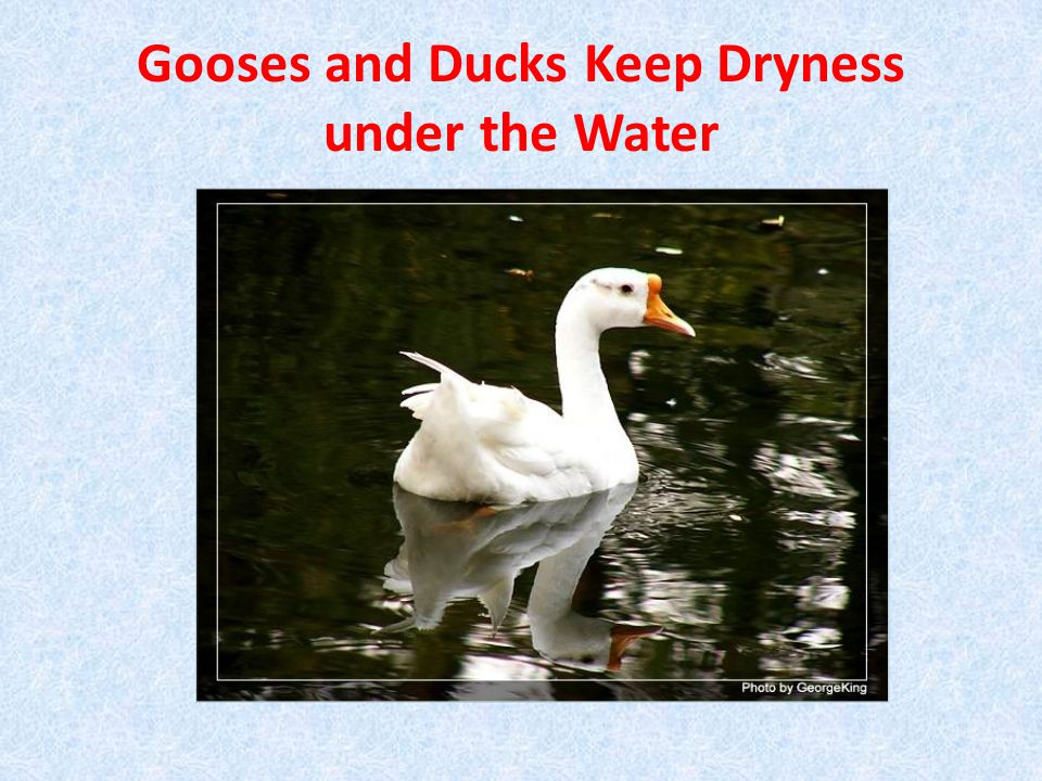 Gooses and Ducks Keep Dryness under the Water