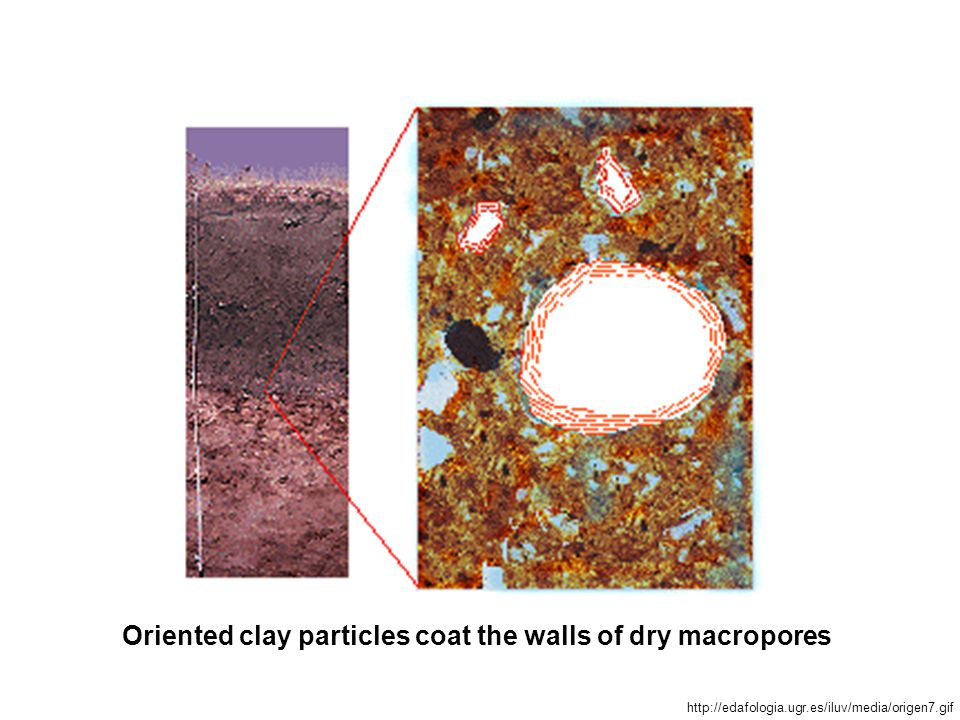 Oriented clay particles coat the walls of dry macropores http://edafologia.ugr.es/iluv/media/origen7.gif