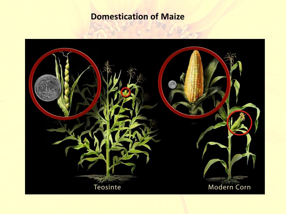 Domestication of Maize