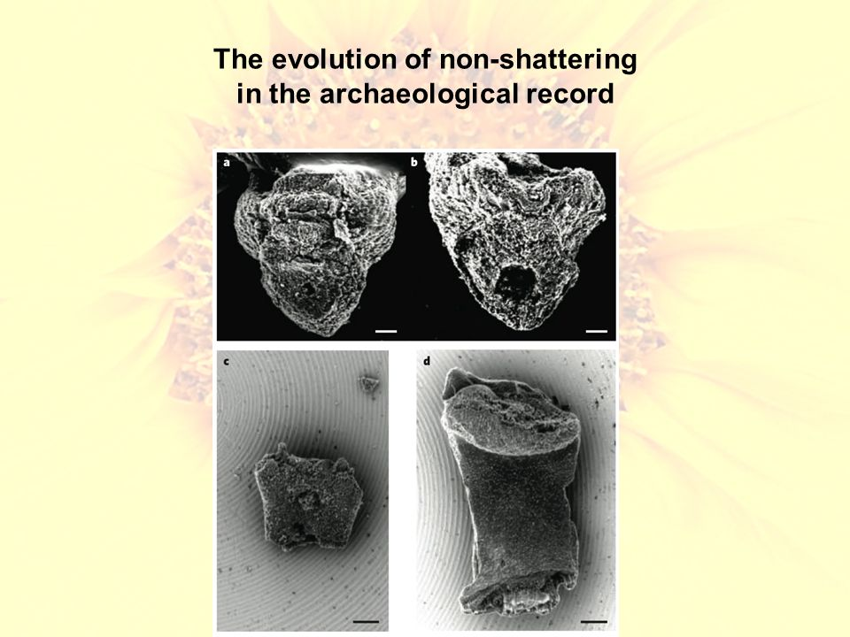 The evolution of non-shattering in the archaeological record