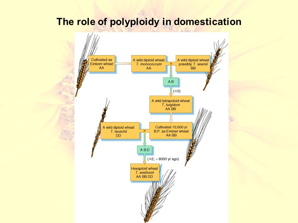 The role of polyploidy in domestication